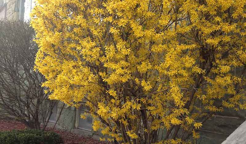 Welcoming Spring With Fabulous Forsythia Augustine Nursery